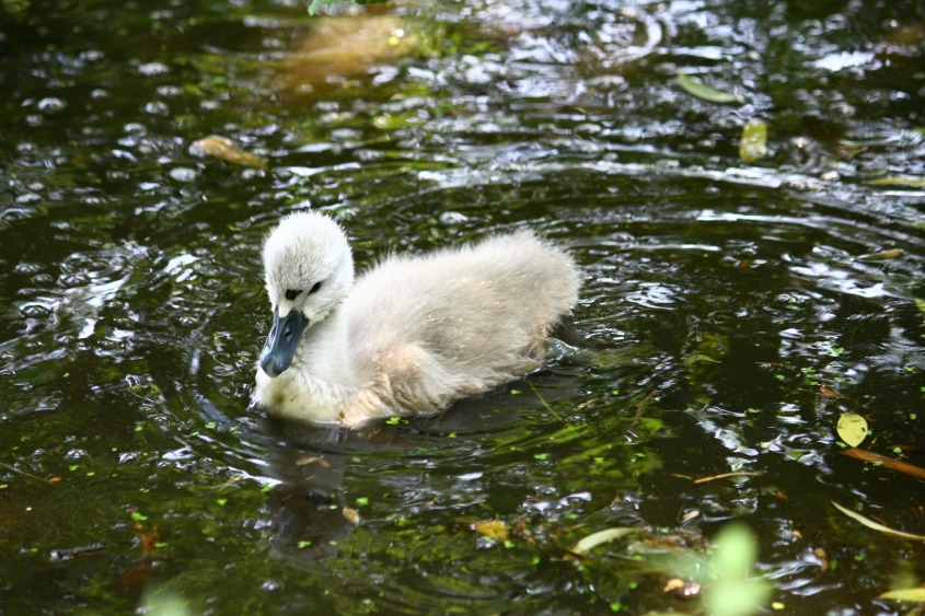 swan-1639154_1920